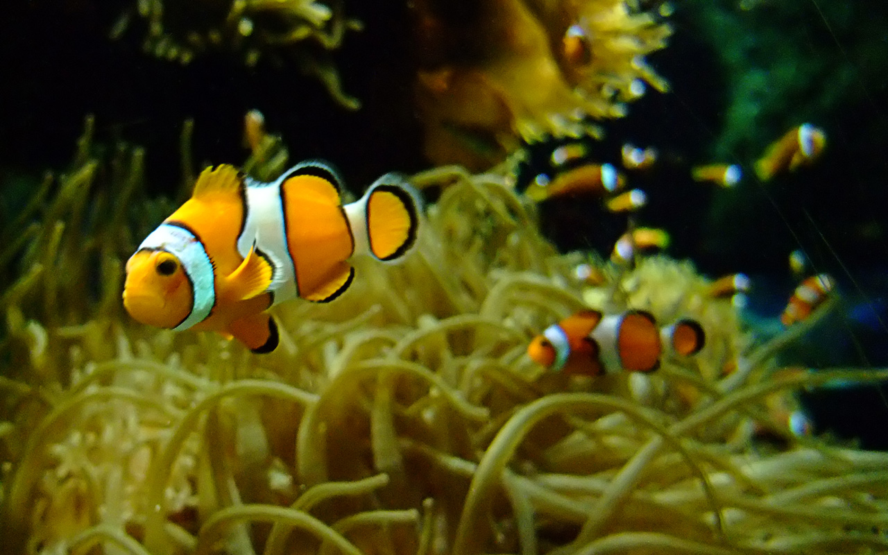 Clown fish wallpaper amazing wallpapers for A clown fish