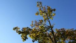 yellow-tree-leaves-blue-sky
