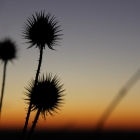 Thistle (?) against sunset
