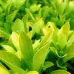 green-petals