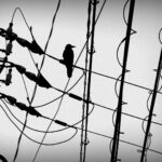 japan-kyoto-bird-on-wires